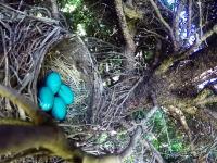 子育ての様子を映像にしようと鳥の巣にGoProカメラを仕掛けた結果(´・_・`)