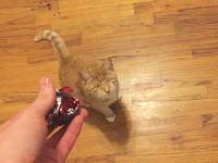 目が見えなくてもネコはネコ。視力0で飼い主とボール遊びをする。盲目のレイ。