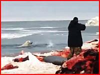 ヘッドショットされたシロクマさん(´・_・`)運悪く人間に近づいたシロクマさんが撃ち殺される。