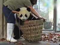 可愛すぎワロ(・∀・)タ!清掃員の邪魔ばかりするジャイアントパンダの映像が大ヒット。
