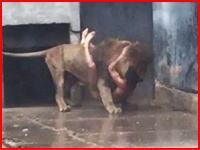 動画像。自殺しようとライオンの檻に侵入した男のせいでライオン2頭が射殺される。