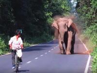 野生の象に追いかけられた自転車の兄ちゃんが焦ってペダルを踏み外すwww