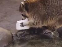 綿あめを洗ってしまったアライグマさんが悲しすぎると人気にwwwこれワロタwww