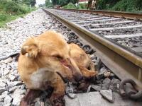 電車との衝突事故で危険な状態にあった野良犬を助けてあげた動画。アニマルエイド。