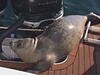 シャチに追われたアザラシが観光客のボートに逃げ込んできた動画が人気に。