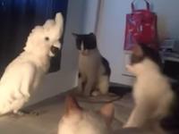 猫の集会に参加しようと鳴き声を真似ながら近づくオウムさんのビデオが人気。