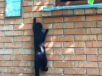 ニャンジャ(忍者キャット)壁登りをするネコちゃんたちのまとめ動画。