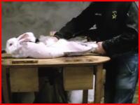 毛皮のコートはこうして作られる。生きたまま毛を毟り取られるアンゴラウサギの映像。