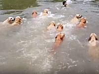 ワンワン×14。ゴールデンレトリバーの群れと一緒に泳ぐ飼い主さんが羨ましい動画。