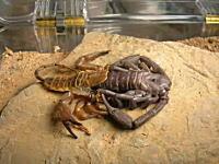 サソリの脱皮がキモコワカッコイイ!こんなの良く進化できたな。地球外生命体じゃないのか。