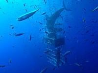 これは事故だろ。ケージダイビング中に巨大なホオジロザメに襲われるビデオ(((゚Д゚)))