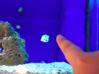 磁石のように指にくっついてくるハコフグの赤ちゃんが可愛すぎワロタ動画。