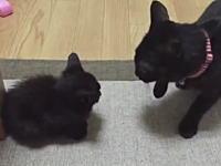 真っ黒な子猫に浴びせられた大人のネコパンチ。ツイッターで話題の動画。