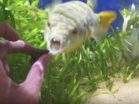 ペットショップ動画。朝食のカタツムリに激しく反応するフグさんの顔がとても怖いww