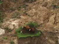 これぞまさしく陸の孤島。ニュージーランド大地震で孤島に取り残されている牛の家族が発見される。