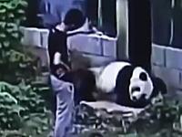 彼女にカッコイイ所をみせようとパンダの獣舎に侵入して襲われた男の映像。