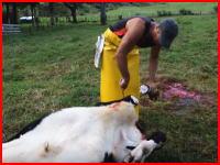 ナイフの切れ味がすげえ。大きな牛一頭をものすごいスピードで解体していく作業。