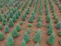 クリスマスツリーはこのようにして収穫されるらしい。年に一度の大仕事。