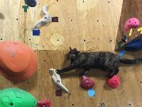 ボルダリングする猫。沖縄県には85度のスラブを登れるニャンコがいる動画。