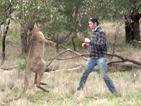 不意打ちパンチを食らって一瞬怯むカンガルー。愛犬を救うためにカンガルーに立ち向かった男。