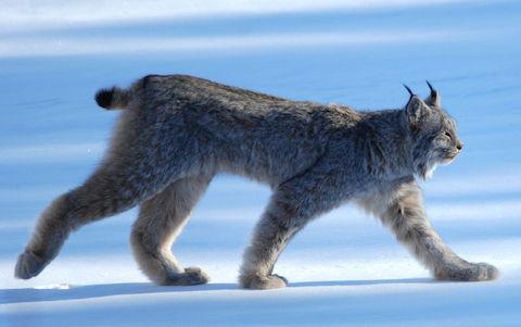 Lynx_Canadensis