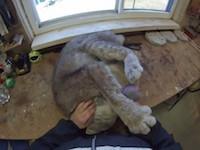 【ねこ】ブラッシングされるのが大好きなカナダオオヤマネコが可愛い。