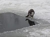 雪国を生き抜くニャンコの狩り。忍び忍びゆっくり忍び寄ってお魚を狩るニャンコ。