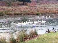 先頭が大変すぎる白鳥の湖。先頭の彼は白鳥界で偉いさんなのかそれとも・・・。