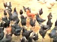 超ニワトリ。鶏も空を飛べるらしい動画。走ってくるやつらもめちゃくちゃ早いwww