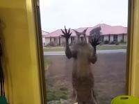 なんだこの威圧感www窓をドンドンするのがカンガルーだった場合。