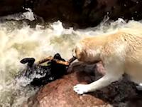 先週のワンコ。急流に流されていく仲間を救ったワンちゃんのビデオ。
