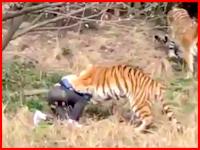 中国の動物園で客がトラに襲われて死亡。の映像がライブリークに来たぞ。