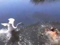 白鳥の逆鱗に触れた男性。沈められそうになるwwwコワwwwイwww