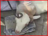 子羊に焼きを入れる作業の映像がとても怖い(((゚Д゚)))少し再生注意。