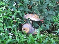 茂みに絡まって溺れかけていたメンフクロウを助けてあげた優しいヤカック乗り。