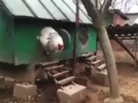 これはこええwww巨大なニワトリのビデオに世界中のネット民が驚く。