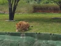 観客を襲おうとしてジャンプ力が足りなかったメスライオンの悲しい姿。