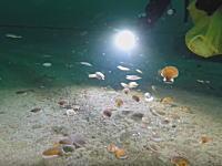 海底のホタテの群れを脅かすと面白い映像が撮れる。