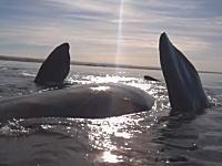 これはさすがに怖い。ホエールウォッチングでクジラに持ち上げられたカヤック。
