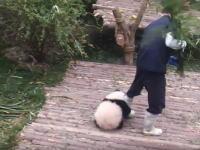 飼育員さんとどうしても遊びたい子パンダが可愛すぎわろたああああああ