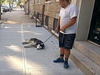 可愛すぎワロタwwwどうしてもお散歩を終わらせたくないハスキーの抵抗www