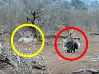ヤマアラシには決して挑んではいけない。大切なことを学んだヒョウのビデオ。