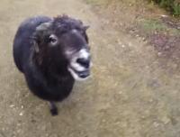 これを見ると人はヒツジにも勝てそうにないな。怒った羊の頭突きを受けてみた。