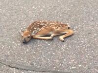 この鹿に何があった。道路のど真ん中に倒れていた鹿の赤ちゃんを道路脇に寄せてあげたところ・・・。