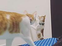 ほのぼの。ネコの兄弟愛。高い場所にあるおもちゃを取ってあげる優しい兄貴。