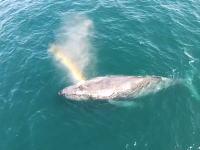 うつくしい。クジラの息継ぎバフッ!に綺麗な虹がでるビデオ。(空撮)