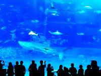 美ら海水族館で大事故。フラッシュに驚いたマグロが凄いスピードでガラスに衝突して死ぬ。