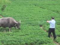 水牛って強いな(中国)拳銃8発で仕留められない水牛に最後は重機を使う。