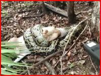 家畜のヤギを襲ったニシキヘビを拳銃で射殺するフロリダ親父。(衝撃)