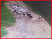 おそロシア。野良犬の集団に襲われ噛み殺され食われてしまった男性の映像。